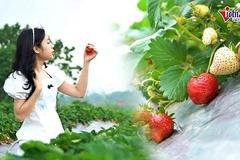 Tự tay hái quả ở vườn dâu 40.000 cây chín mọng giữa Hà Nội