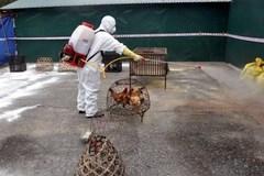 Người chăn nuôi chủ động phòng, chống dịch cúm gia cầm