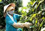 Price of Vietnamese pepper soars after two years at record low