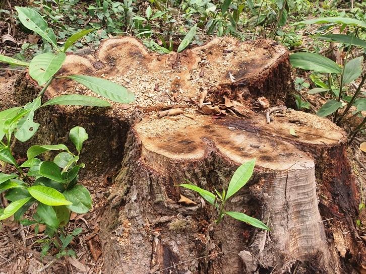 Chặt 'nhầm' cây ngã đổ đường kính đến 60cm trong rừng dân trồng ở Mỹ Sơn