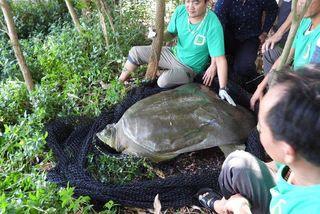 Đã xác định được ba cá thể rùa Hoàn Kiếm tồn tại trên toàn thế giới