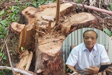 """Chặt """"nhầm"""" cây ngã đổ đường kính đến 60cm trong rừng dân trồng ở Mỹ Sơn"""