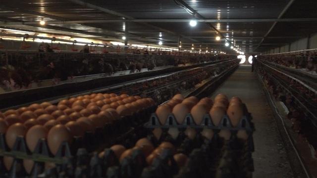 'Đại gia lò gạch' ở Hải Dương bỏ nghề, cầm cả ống bơ vàng đi đầu tư nuôi gà