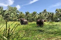 'Buffalo billionaire' builds biggest house in Mekong Delta