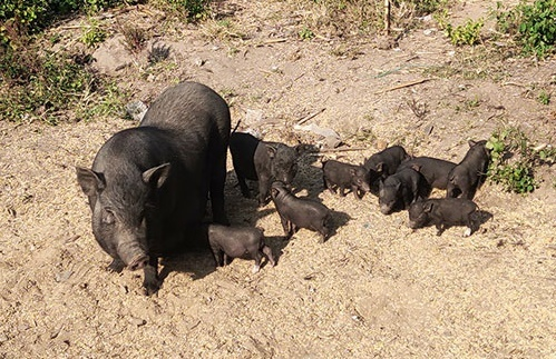 Bình Thuận thành công với mô hình chăn nuôi lợn cỏ an toàn dịch bệnh