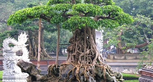 'Té ghế' với những loại cây có 'giá trên mây' trăm tỷ đồng ở Việt Nam