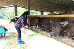 Ba Bể: Chăn nuôi hữu cơ, khép kín, đảm bảo an toàn dịch bệnh