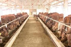 Vũ Thư có 79 hộ chăn nuôi trâu, bò theo chuỗi liên kết an toàn sinh học