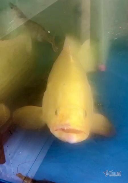 Con cá mú vàng được anh Sơn về nuôi cẩn thận
