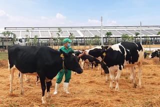 Vinamilk nhập hơn 2.100 bò sữa HF thuần chủng từ Mỹ