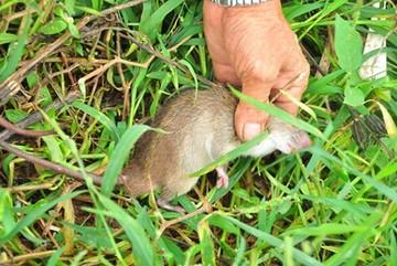 Giá chuột đồng đắt hơn thịt heo, có thời điểm 120.000 đồng/kg