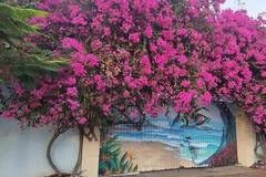 Bắt kẻ cưa trộm gốc hoa giấy cổ thụ ở TP Vũng Tàu