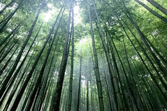 Spectacular bamboo forest in Yen Bai