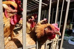 Cúm gia cầm: Nghệ An quyết không để dịch lan rộng