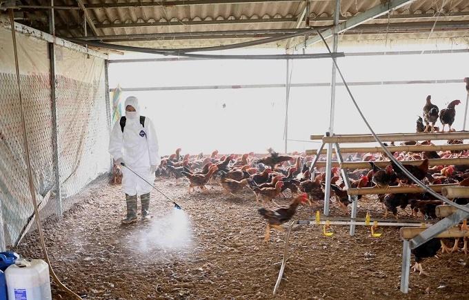 Tuyên Quang: Sau dịch bệnh bùng phát, Các hộ dân thận trọng tái đàn gia cầm
