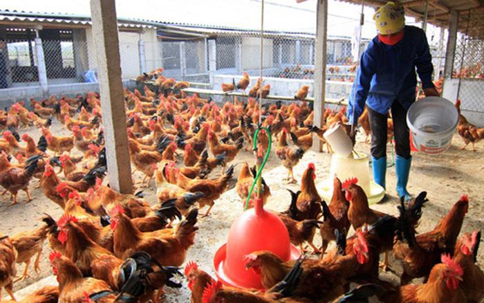 Nam Định nỗ lực ngăn chặn dịch cúm gia cầm