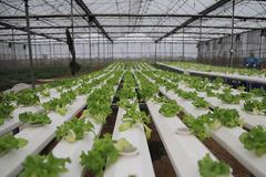 Trồng rau bằng smartphone, chị nông dân đều tay thu tiền tỷ