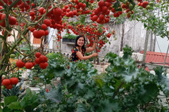 Vườn cà chua đỏ rực 'vạn người mê' trên sân thượng Hải Phòng