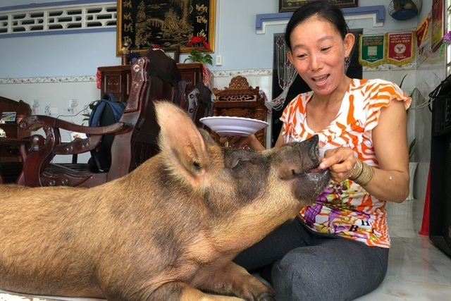 Mekong Delta: spoiled pigs eating sweets, and other unusual phenomena