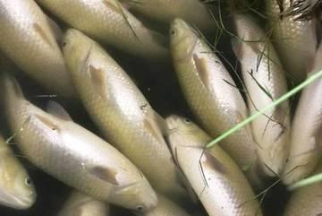 Gần 30 tấn cá chết bất thường dọc bờ biển Thanh Hóa