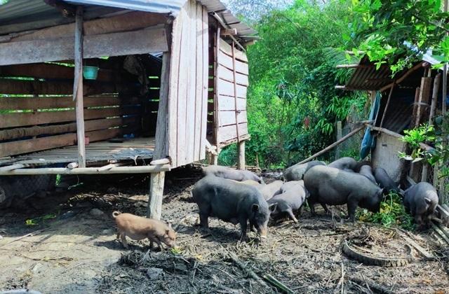 Kỳ lạ giống 'lợn đen đồng bào' nuôi không kịp lớn để bán