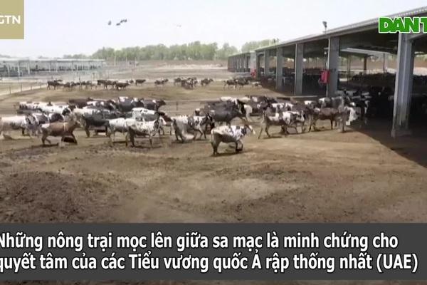 Bất ngờ với trang trại trồng rau, nuôi bò sữa giữa sa mạc khắc nghiệt