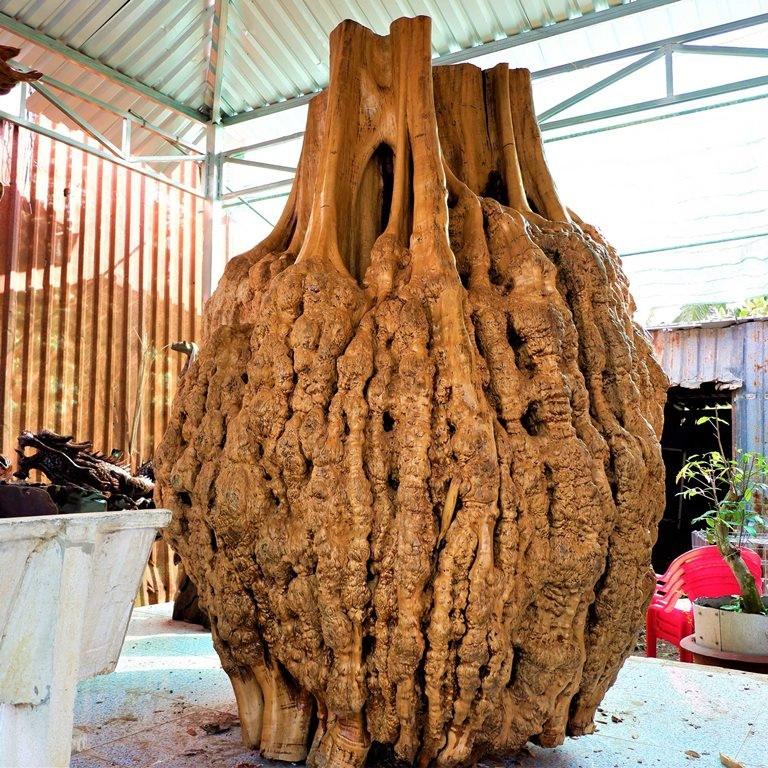 Hàng lạ: Hải sản trông như nấm, quả bí để chơi 3 tháng rồi nấu ăn