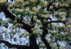 Vẻ đẹp nao lòng của cây hoa bún 300 năm tuổi giữa Thủ đô