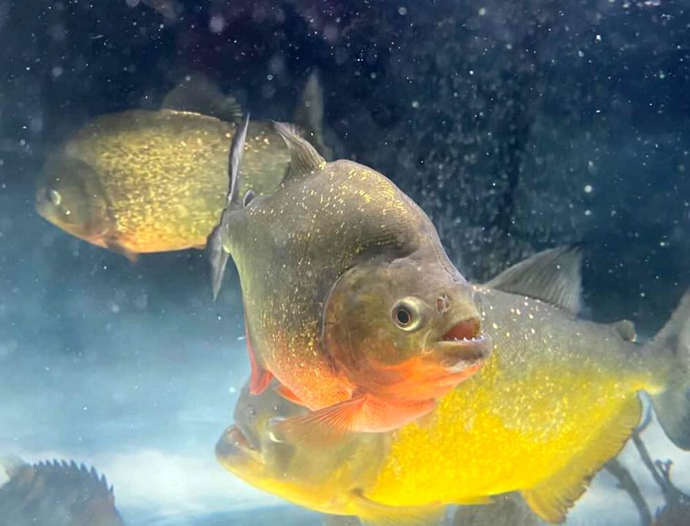 Bị cấm, cá piranha vẫn được bán tràn lan