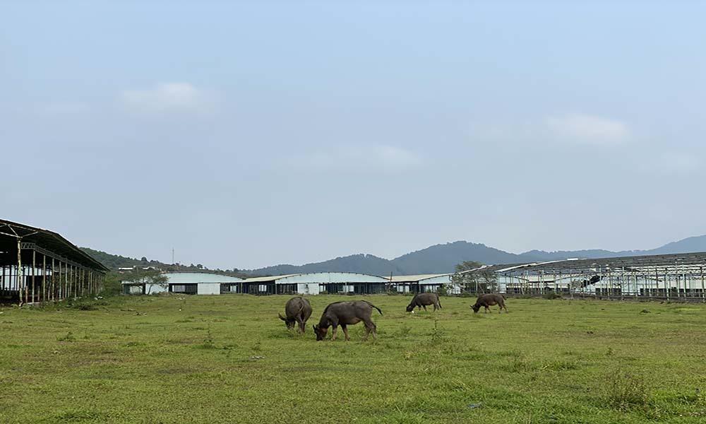 Trại bò nghìn tỷ hoang tàn, di sản thời ông Trần Bắc Hà muốn hồi sinh