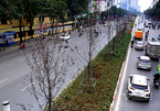 Hà Nội bỏ cây phong, thay bằng bàng lá nhỏ trên đường Nguyễn Chí Thanh