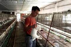 Young farmer earns billions of VND a year from rabbit exports to Japan