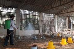 Dịch cúm gia cầm đẩy giá thức ăn chăn nuôi tăng cao