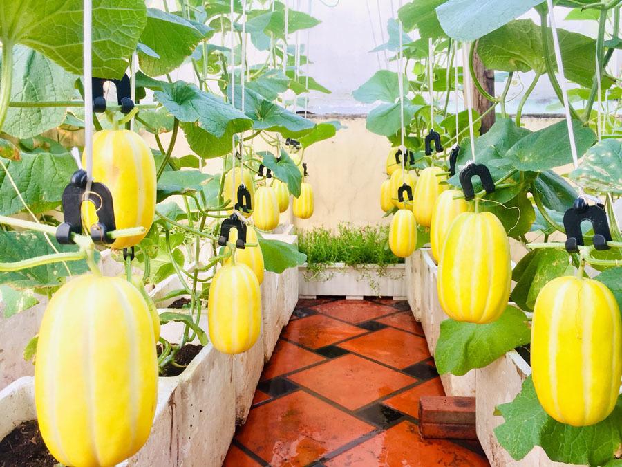 Vườn treo trĩu quả, 'đã mắt' trên sân thượng ở Sài Gòn