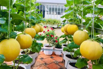 Vườn treo trĩu quả, 'đã mắt' trên sân thượng