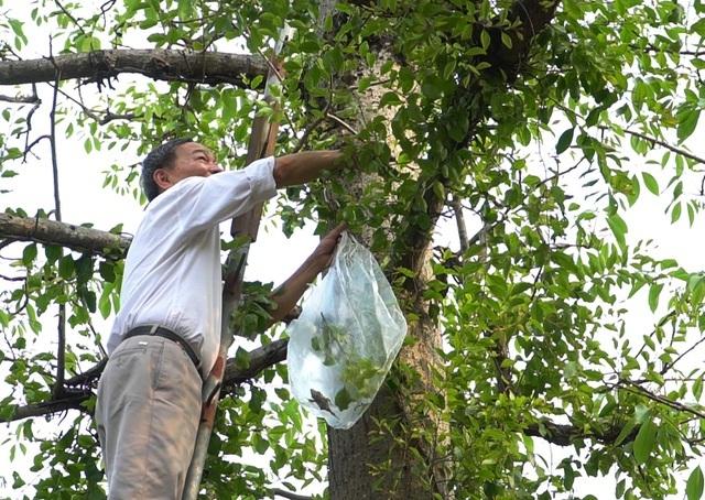 Choáng với loại tầm gửi quấn quanh thân cây được 'hét giá' 1 triệu đồng/kg