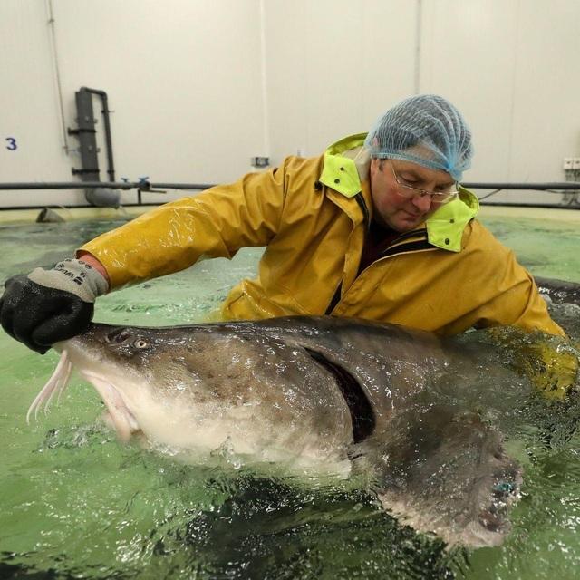 Bí mật nơi nông dân nuôi cá làm ra đặc sản thượng hạng hàng trăm triệu/kg