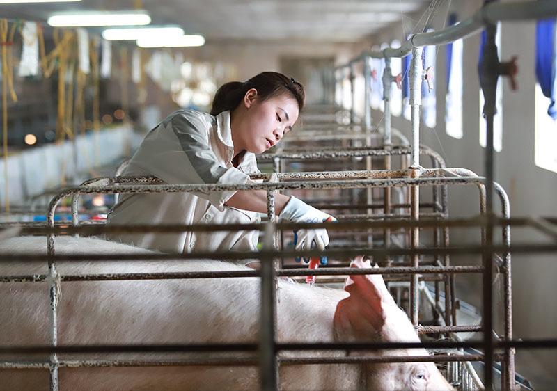 Bỏ biên chế nhà nước về nuôi lợn, mỗi năm thu hơn 1 triệu USD