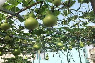 Vườn sân thượng đầy cây trái của vợ chồng ở TP.HCM