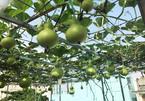 Vườn sân thượng đầy cây trái của vợ chồng Sài Gòn