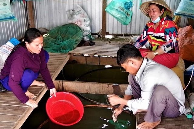 Nghề nuôi cá heo đuôi đỏ phất lên 'như diều' tại An Giang