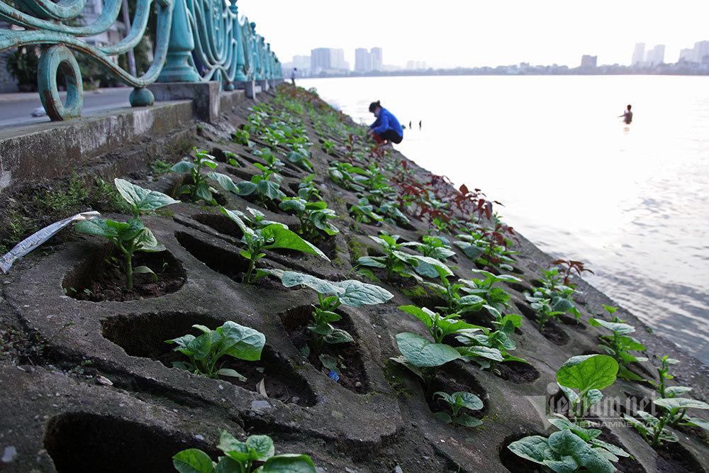 Trồng rau kiểu 'hốc đá' bên hồ ở Hà Nội