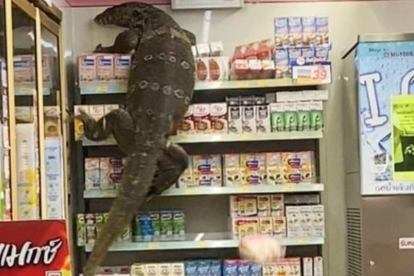 Thằn lằn khổng lồ leo trèo trong cửa hàng tạp hóa, nhiều người hoảng loạn