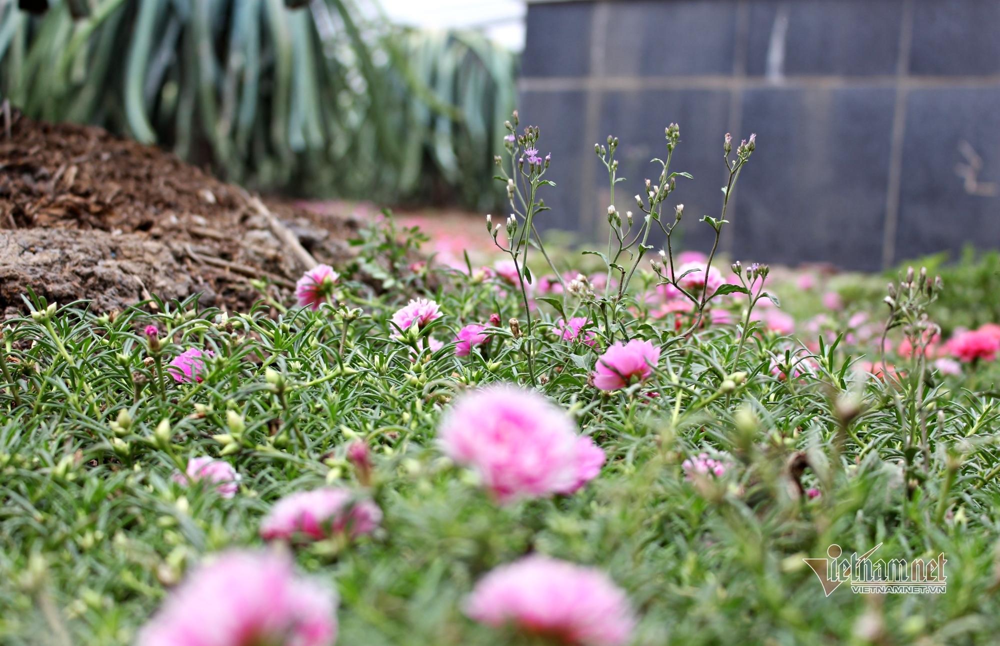 Vườn thanh long được 'trải' thảm hoa mười giờ đẹp ngỡ ngàng ở miền Tây