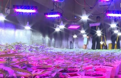 Đường dây trồng, mua bán cần sa quy mô lớn, lắp đèn led sưởi cây