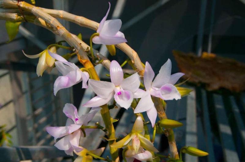 Có thể nhân giống vô tính hàng vạn cây lan đột biến 'tiền tỷ' từ cây mẹ?