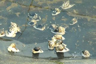 Farmer owns VND34bil sea snail 'treasure' in Quang Tri