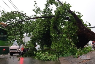 Collapsed trees after heavy rain causes traffic gridlock in HCM City