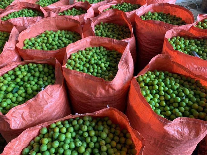 Mận cơm rớt giá thảm, bán 1kg không mua nổi cốc trà đá