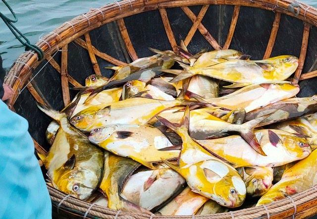 Kéo mẻ lưới bắt 300 con cá vàng rực, bán cả mớ thu 600 triệu đồng